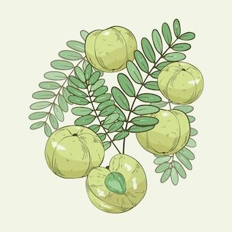 Elementos de frutas amla desenhados à mão realistas