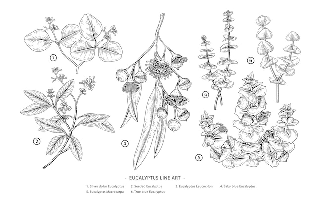 Elementos desenhados à mão de ramos de eucalipto