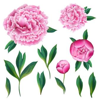 Elementos florais rosa flores desabrochando de peônia