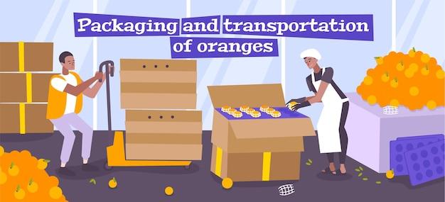 Embalagem e transporte de frutas laranjas com trabalhadores colocando as frutas manualmente em caixas