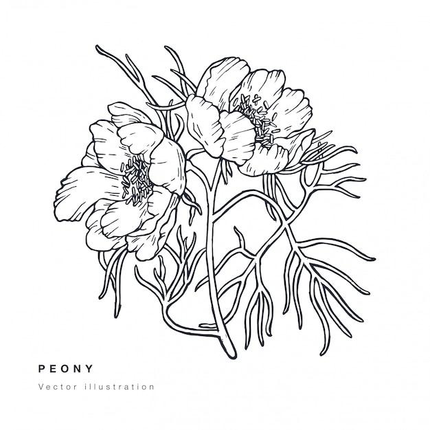 Entregue a ilustração estreita das flores da peônia com folhas estreita. guirlanda floral cartão floral botânico em fundo branco.