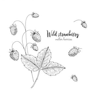 Entregue a ilustração tirada do morango silvestre isolada no fundo branco. bagas gravadas ilustração estilo.