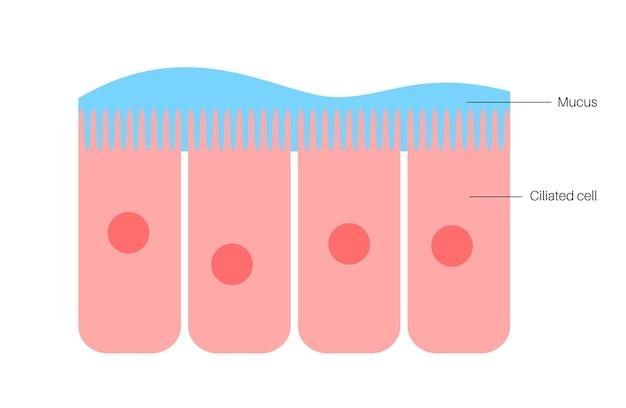 Epitélio da mucosa nasal