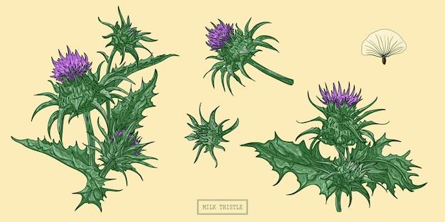 Erva de cardo leiteiro, ilustração botânica desenhada à mão.