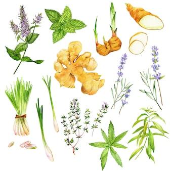 Ervas de chá, incluindo hortelã-pimenta e verbena, mão desenhada aquarela