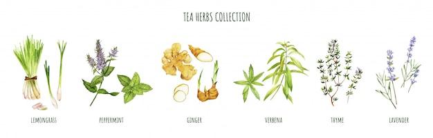Ervas do chá, incluindo hortelã-pimenta e verbena, mão desenhada