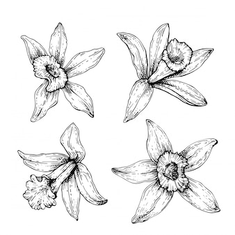 Esboce o conjunto de flores de baunilha. orquídea de desenho de mão isolada no fundo branco. ervas e especiarias de cozinha