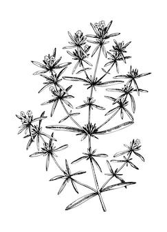 Esboço à mão de ilustração botânica saborosa de verão