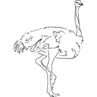 Esboço à mão, vetor de avestruz desenhado à mão