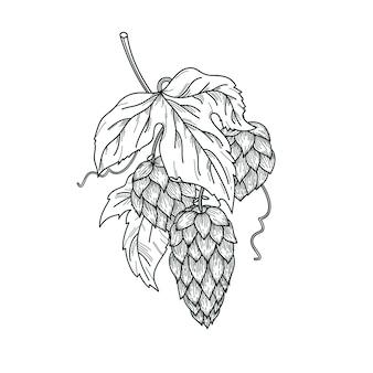 Esboço da planta de lúpulo, ramo de lúpulo com folhas e cones de lúpulo em estilo de gravura. composição isolada de vetor de lúpulo.