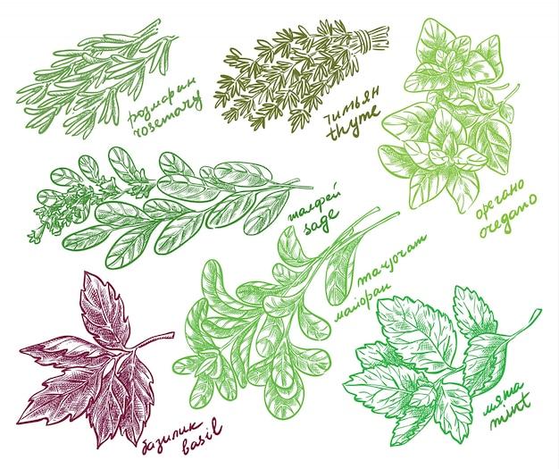 Esboço de ervas perfumadas