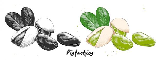 Esboço de gravura desenhada mão de nozes de pistache.