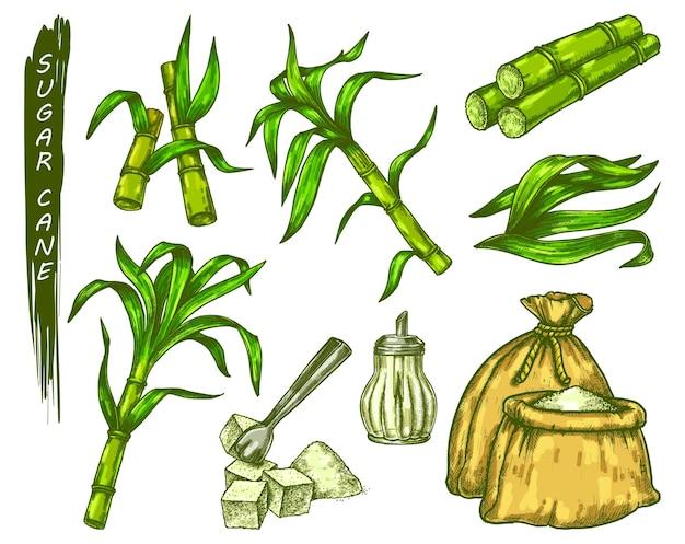 Esboço de planta de cana-de-açúcar em ícones coloridos de vetor