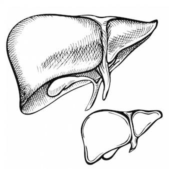 Esboço de tinta fígado humano, mão desenhada, estilo doodle, ilustração anatômica gravada.