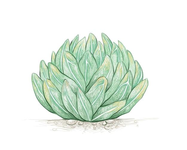 Esboço desenhado à mão da planta agave victoriae reginae
