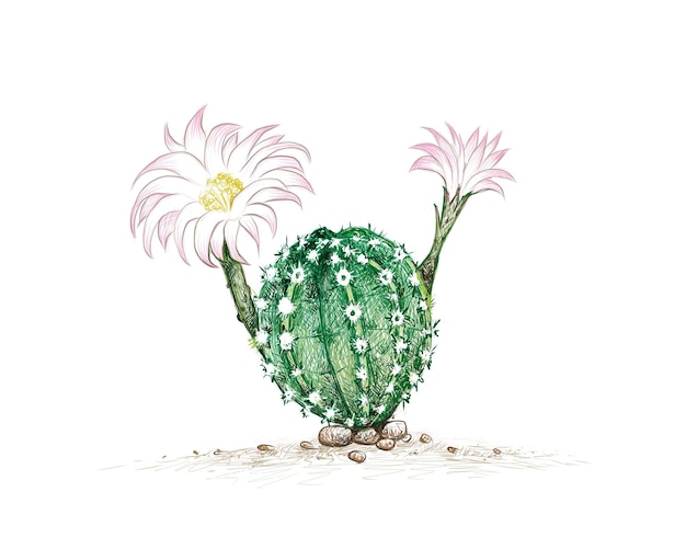 Esboço desenhado à mão da planta do cacto echinopsis