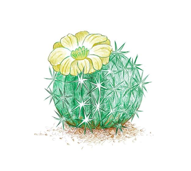 Esboço desenhado à mão de planta de cacto acanthocalycium