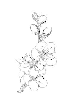 Esboço desenhado de mão da flor de sakura japonês