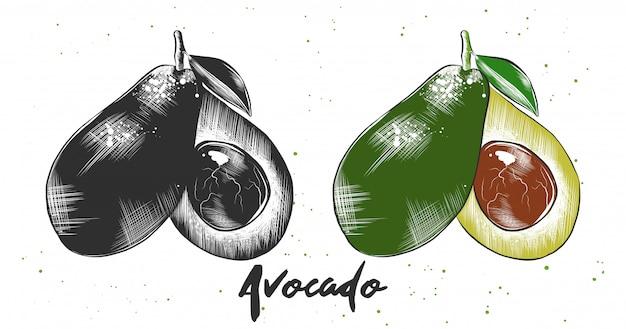 Esboço desenhado de mão de abacate