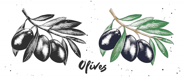 Esboço desenhado de mão de azeitonas