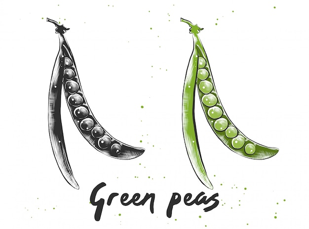 Esboço desenhado de mão de ervilhas verdes