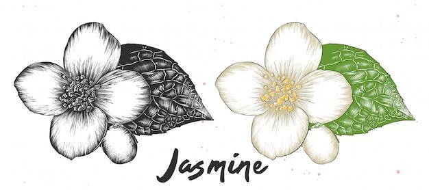 Esboço desenhado de mão de flor de jasmim