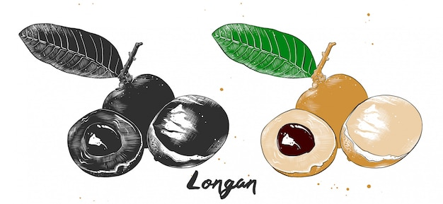 Esboço desenhado de mão de fruta longan