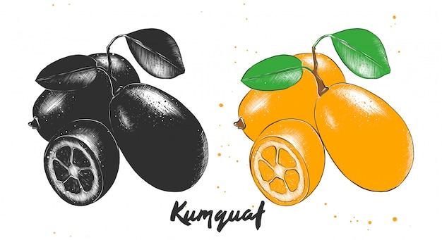 Esboço desenhado de mão de frutas kumquat