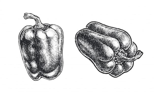 Esboço desenhado de mão de pimentão. comida vegetariana natural estilo vintage isolada