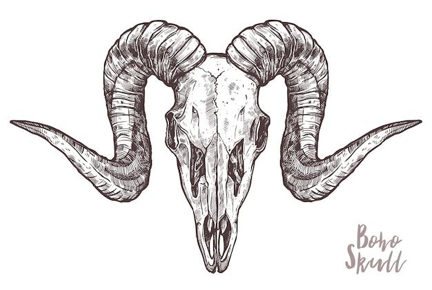 Esboço do crânio de carneiro isolado no branco
