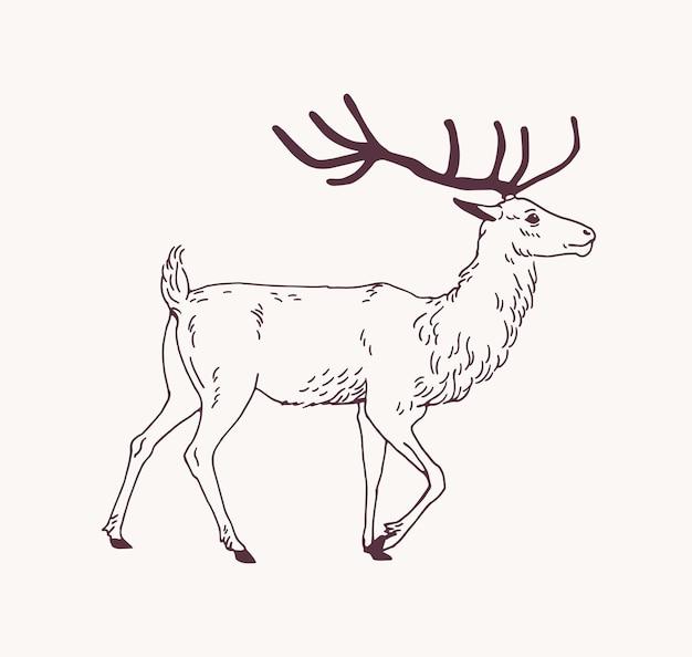 Esboço elegante desenho de veado, rena ou veado com lindos chifres. lindo animal da floresta desenhado com linhas de contorno