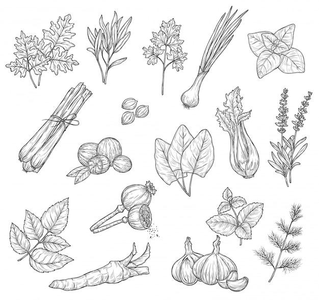 Esboços de ervas, especiarias e temperos