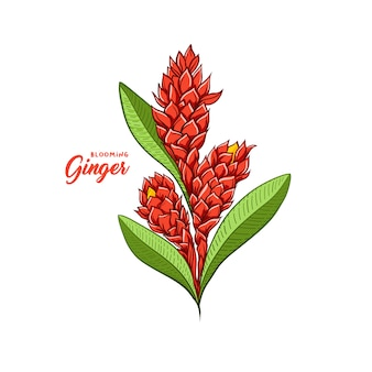 Especiaria de florescência da planta da flor do gengibre. ilustração em vetor botânica