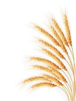 Espigas de trigo isoladas no fundo branco.