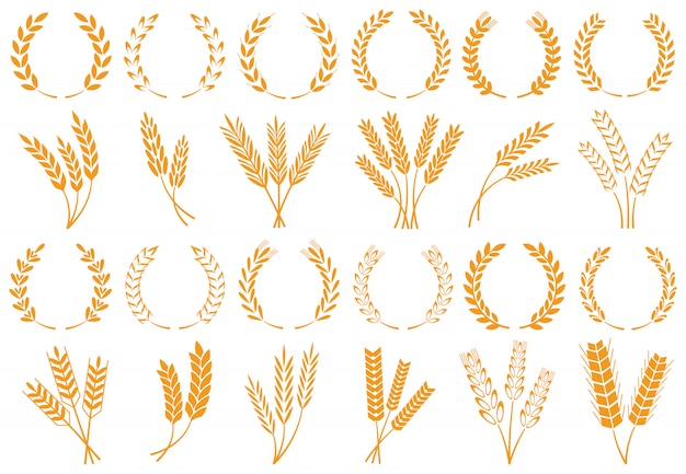 Espigas de trigo ou cevada