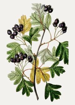 Espinheiro preto pequeno-flor