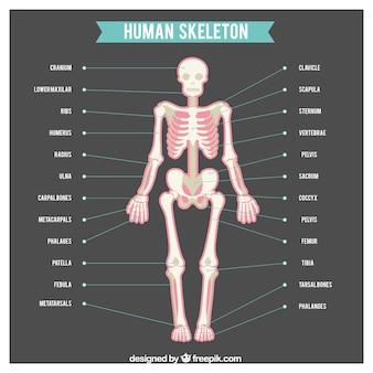 Esqueleto humano com nomes de partes do corpo