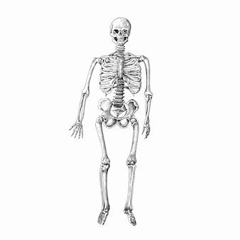 Esqueleto humano desenhado à mão