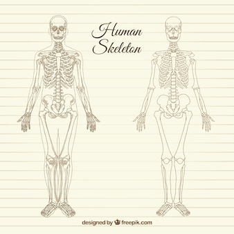 Esqueleto humano esboçado