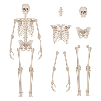 Esqueleto humano. partes do corpo ossos do crânio mãos anatomia da coluna vertebral detalhada ilustração realista