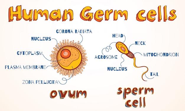 Esquema de gametas humanos: óvulo e célula espermática