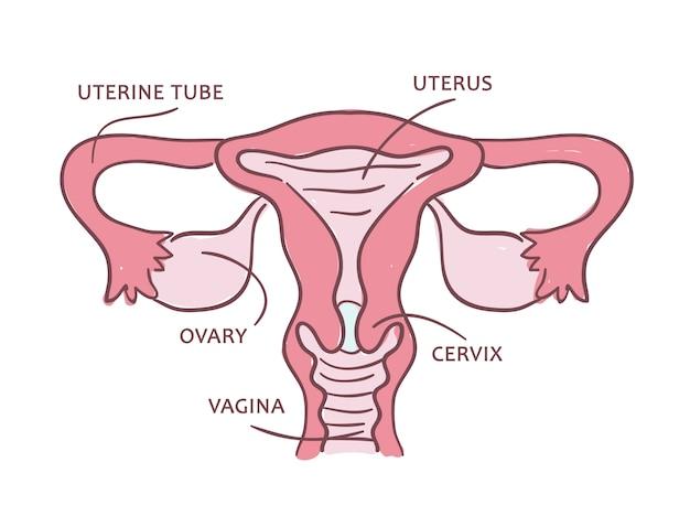 Esquema médico de um sistema reprodutor feminino.