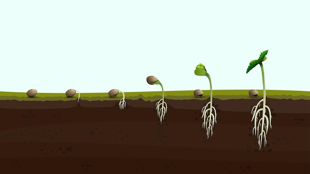 Estágios da germinação da semente de cannabis da semente ao broto, ilustração realista. processo de plantio de maconha