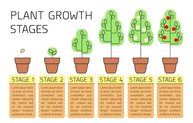 Estágios de crescimento vegetal infográficos coloridos. linha arte ícones. modelo de instruções de plantio. ilustração do estilo linear isolada no branco. plantio de frutas, processo de vegetais.
