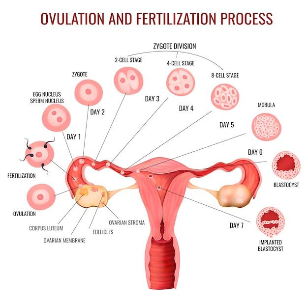 Estágios do processo de fertilização e ovulação do sistema reprodutivo feminino Vetor grátis