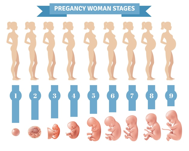 Estágios mulher gravidez