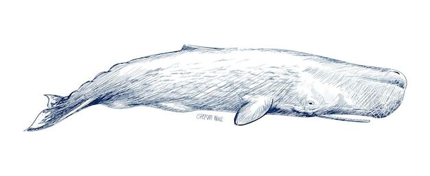 Estilo de desenho de ilustração de baleia de esperma