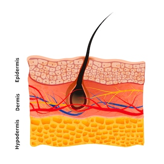 Estrutura detalhada da pele humana com cabelo, ilustrações médicas em branco