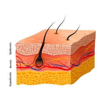 Estrutura detalhada da pele humana, ilustração médica