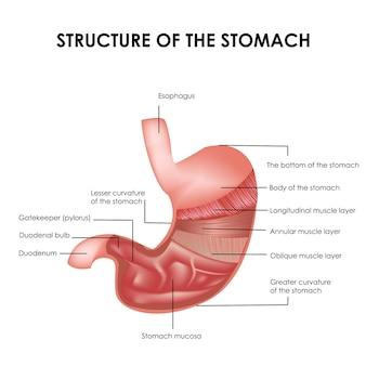 Estrutura detalhada dos músculos do estômago e estômago ilustração médica realista